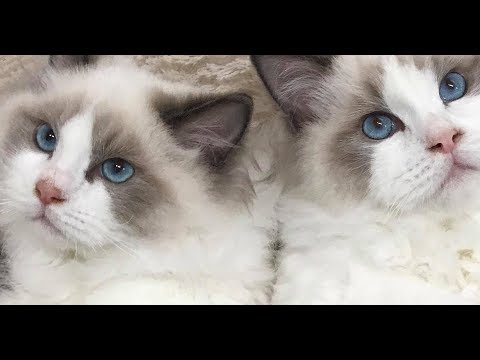 Our New Baby Ragdoll Kittens Are Home! Say Hello To 4 Month Old Christian and Valentino