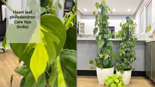 Heart leaf PHILODENDRON care tips / Hindi / हिन्दी / Indoor plant care tips