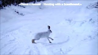 Охота с гончей   Hunting with a Scenthound .