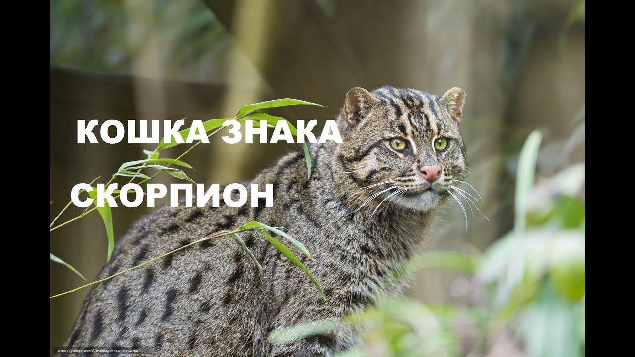 ♏ Кошка под знаком СКОРПИОН. Гороскоп для домашних животных