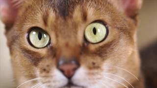 Абиссинская кошка   все о породе кошек – Purina Pro Plan Ukraine
