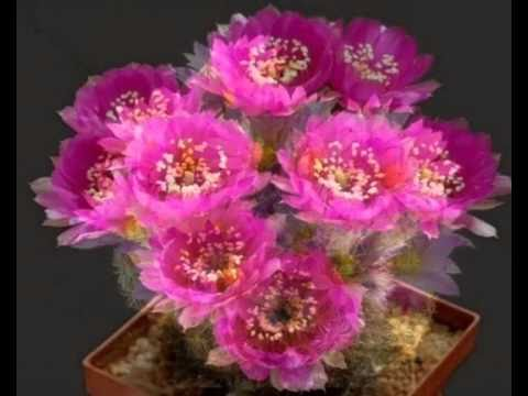 desert flower 2