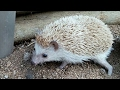 A day in the life of a hedgehog!! SO ADORABLE!! || Snowy's World❤️