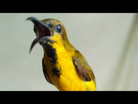 Langsung nyaut!!! Masteran Burung Sogok Ontong super efektif bikin Burung Sogok Ontong gacor dan nge