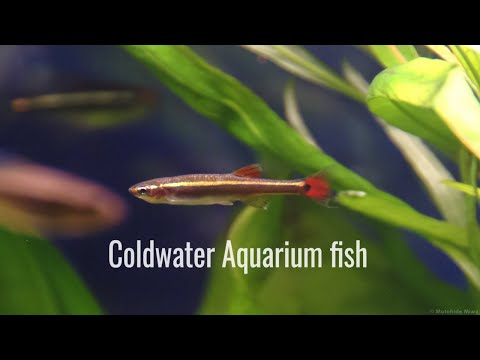 9 Types Of Easy Cold Water Aquarium Fish Which Don't Need A Heater