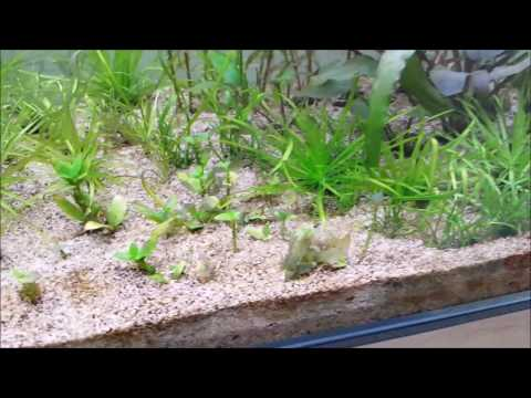 How to kill planaria and your plants (melt down)
