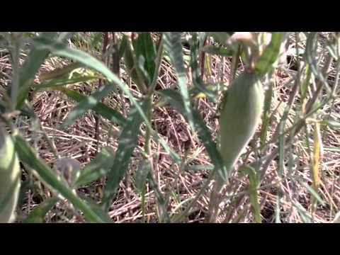 Ластовень – полезные свойства и применение ластовеня