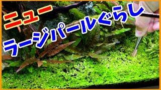 【アクアリウム】ニューラージパールグラスを復活させるよ!【肥料?光量?】 thumbnail