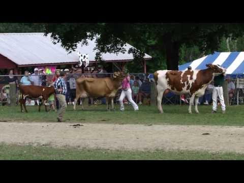 cow show washington county fair rhode island ri hd 2013