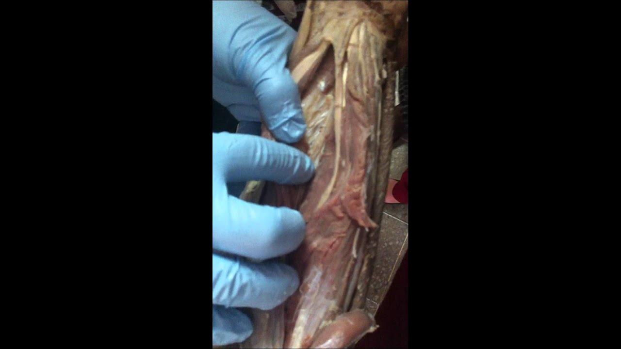 Músculos Antebrazo - Miembro Superior (Anatomía Macroscópica) - YouTube
