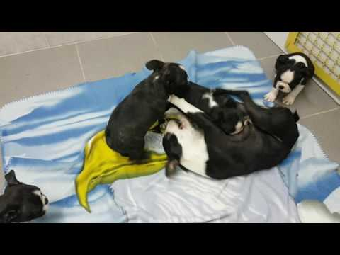 Boston terrier dog mom playing with own  puppy ;)