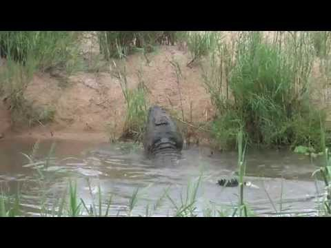 Crocodile Smash baby Hippo at Ngwenya Lodge.
