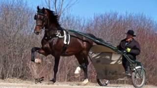 Domonic Dutch Harness Horse Stallion 2017