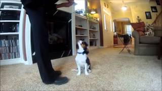 Sammie--5 Month Old Cavalier King Charles Spaniel Shows Off Tricks