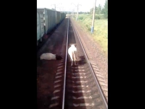 Поезд сбил корову по дороге из Тулуна