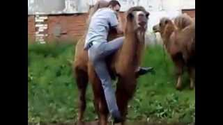 Кличко убегает от верблюда, полный ржач 2015 октябрь, лучшее, приколы юмор угар