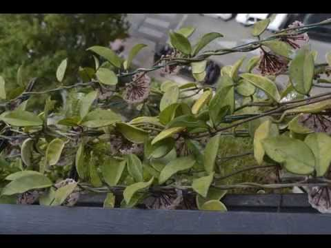 250 pedunculos hoya carnosa en mi terraza