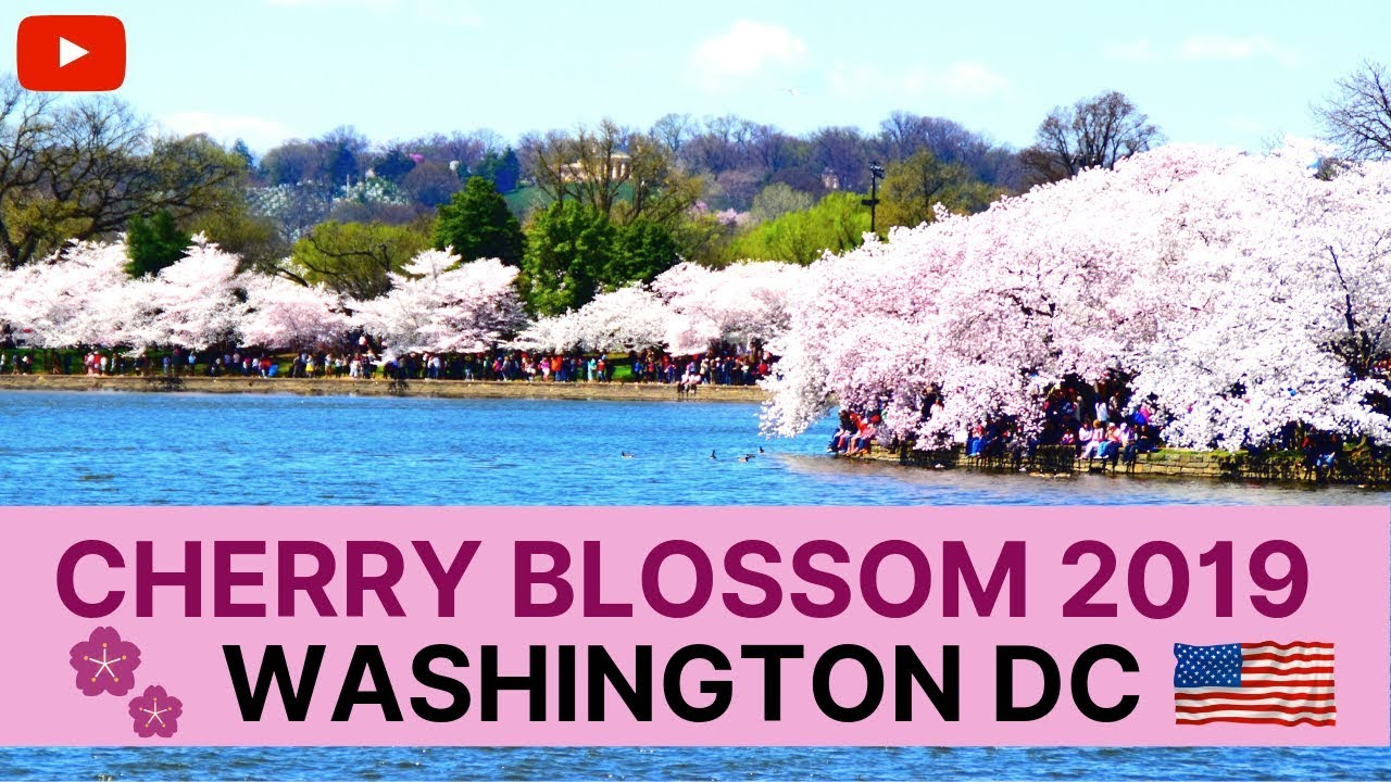Cherry Blossom In Washington Dc Usa Japanese Sakura Of Tokyo Kyoto Japan Documentary 2021 Youtube
