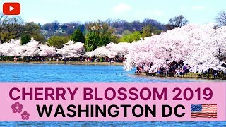 🌸 Cherry Blossom 🌸 in Washington DC USA || Japanese Sakura of Tokyo Kyoto Japan || Documentary 2019