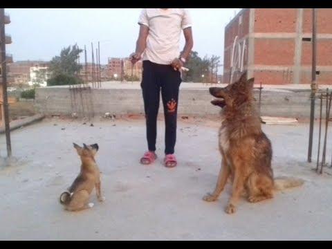 تدريب الكلب جاك البلدي في تحدي الكلب روي الجيرمن على امر sit stay