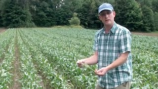 Organic Hybrid Sweet Corn - Seed Production
