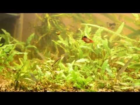 Криптокорина лютея, аквариумные рыбки