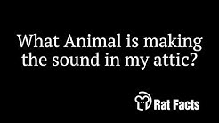 Rat Facts - What Animals are making noises in my attic - Animals in the Attic Brevard 321-614-6005