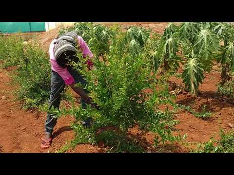 6 months Pomegranate  plants shape cutting or pruning