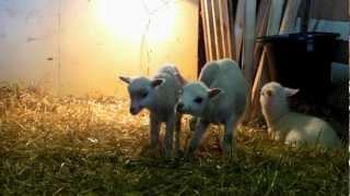 Karitsoja ja Lampaita Haltialan Tilalla Keväällä 2012 1080p