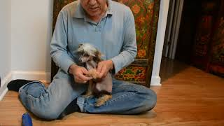Hairy hairless Chinese Crested groomed up 8 10 17 5of5