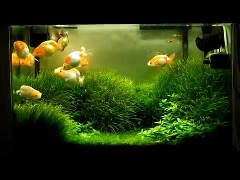 Planted Tank With Goldfish