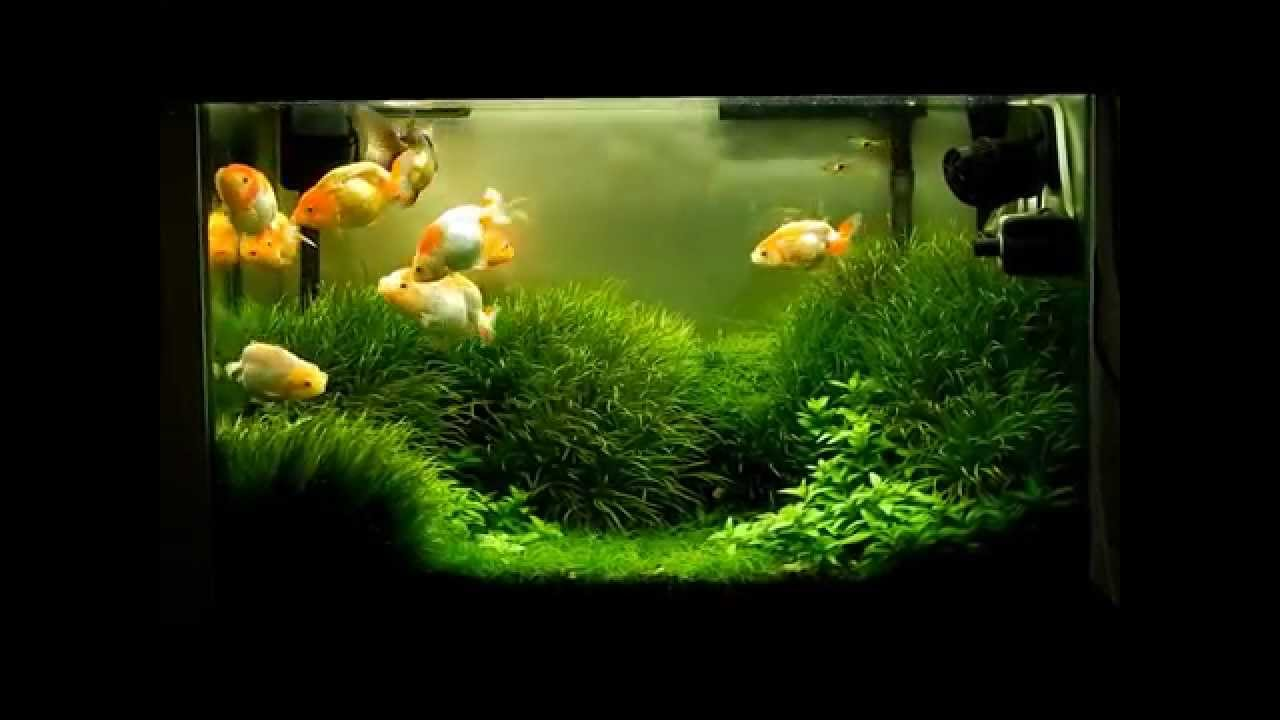 Planted goldfish aquarium images for Fish tank for goldfish