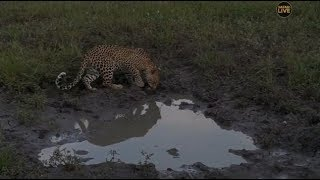 Djuma Private Game Reserve Live Stream - Young male leopard Thamba comes for another visit thumbnail