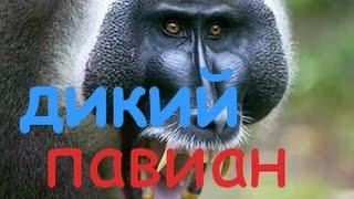 Дикий Павиан