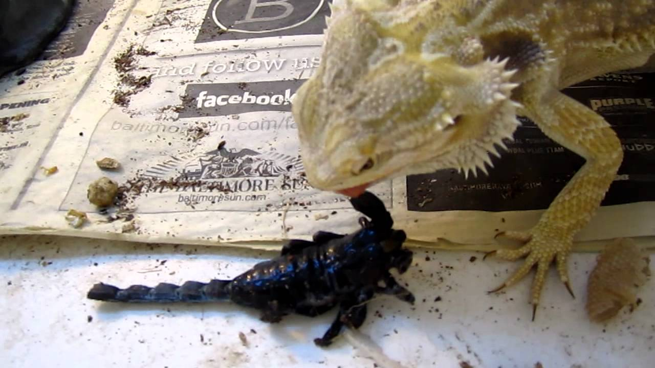 Bearded Dragon Vs Emporer Scorpion Youtube