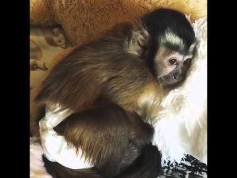 Very Sleepy Baby Capuchin Monkey Is Ready For His Nap - YouTube eb8ffa4aaf47