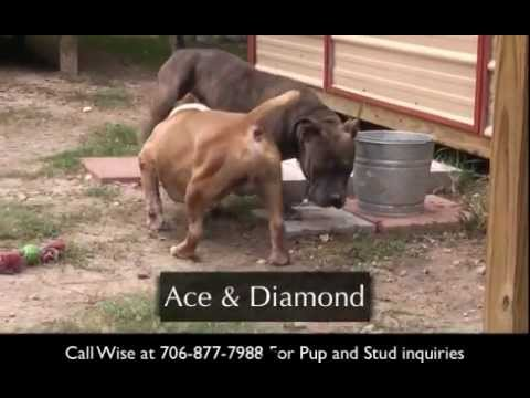 Bully Pitbull Puppies For Sale in Augusta GA