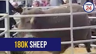 WATCH: Breeding ram sells for R180 000 at auction