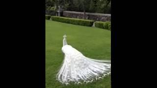 White Peacock Dance