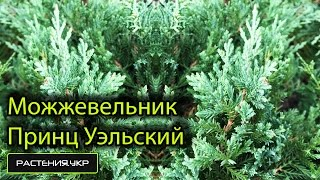 Можжевельник горизонтальный Принц Уэльский / Можжевельник посадка и уход / хвойные растения(, 2015-04-30T08:45:35.000Z)