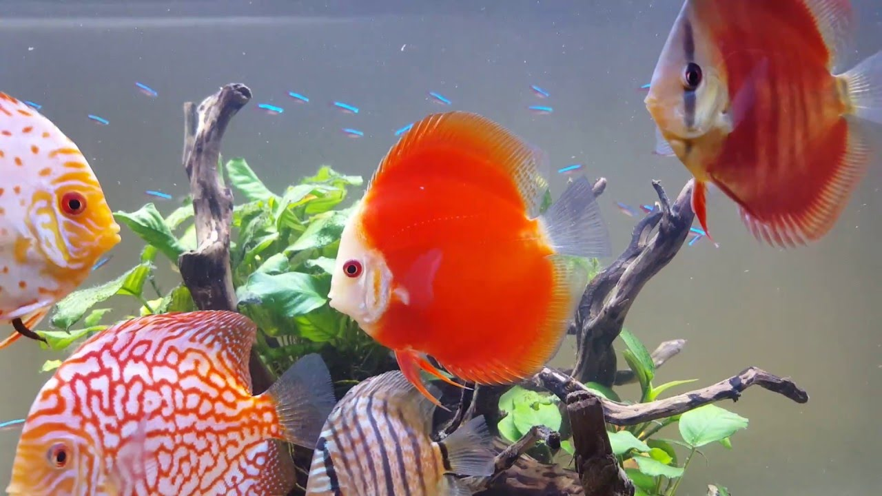 Red Discus Fish Images Gallery >> Red Panda Discus Fish 2 Inch Mac S ...
