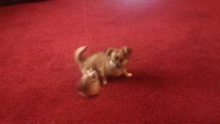 Собака порода чихуахуа Джаз играет.Dog Chihuahua Jazz plays.