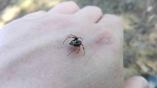 Самец паука-крестовика. Araneus Diadematus Adult Male (Clerck, 1757).