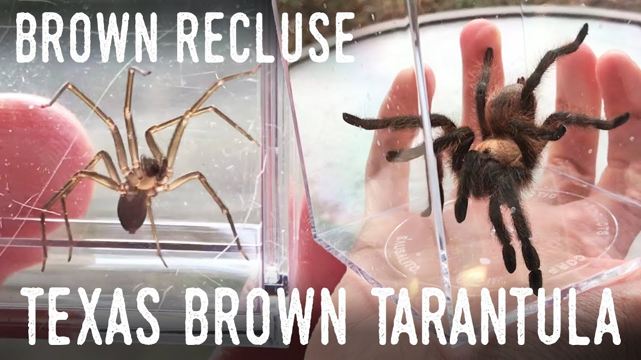 Texas Sized Spiders Meet A Brown Recluse And A Tarantula