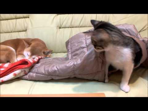 子猫が起きるのを待つ柴犬いちご Shiba Inu that waits for kitten to awake