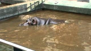 Het poepende nijlpaard