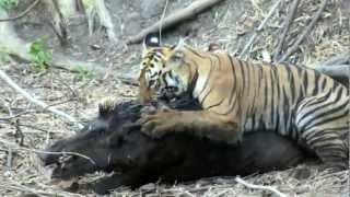 Repeat youtube video Sư tử săn mồi