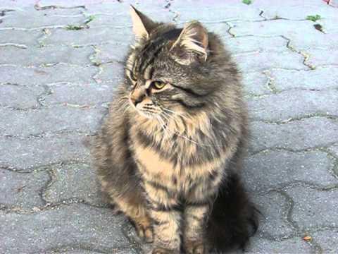 Siberian Cat and domestic cat mix:) - Szemi