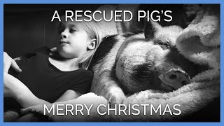 Rescued Pig Celebrates First Christmas With N...