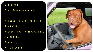 Dogue De Bordeaux. Pros and Cons, Price, How to choose, Facts, Care, History